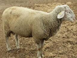 Чистокровные овцы немецкий мериноладшаф и дорпер