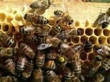 Плідні Матки Карпатки 2019 р. Пчеломатки Бджоломатки Бджолин - фото 1