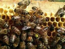 Плідні Матки Карпатки 2019 р. Пчеломатки Бджоломатки Бджолин