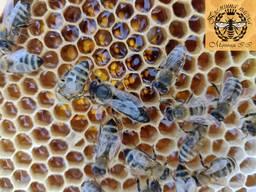 Плідні мічені матки карпатки. Бджоломатки. Карпатка