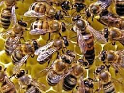 Плодные Пчеломатки карпатской породи вучковский тип F1 Заказ