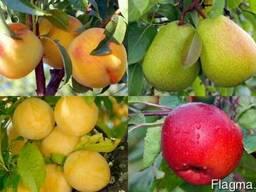 Плодовые деревья оптом