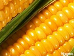 Почаевский 190 ранний гибрид кукурузы ФАО 190