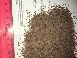 Подорожник насіння (Psyllium ovata)
