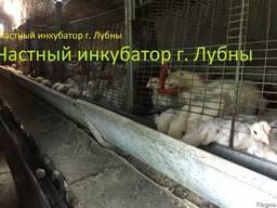 Подрощенные цыплята Бройлера КОББ-500