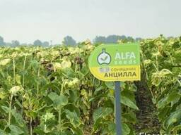 Подсолнечник Анцила A-G, ISEA (Италия) - семена