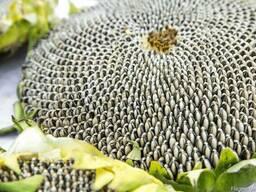 Семена подсолнечника НС Адмирал (НС Х 195) (высокоурожайный)