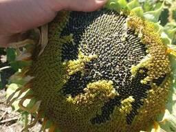 Семена подсолнечника под Гранстар Гранд, Гибрид подсолнечник