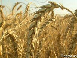 Покупаем пшеницу с поля и в порту