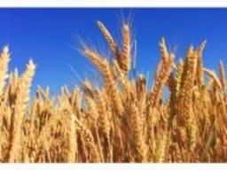 Покупаем пшеницу, ячмень, горох, подсолнух