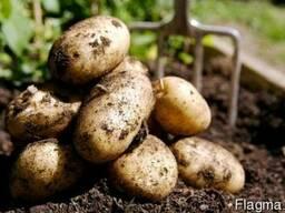 Покупка картошки по ценам производителя