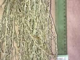 Полин лимонна. Полынь лимонная. Artemisia abrotanum
