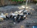 Поросята мангала, кармаліци полтавської, в'єтнамської породи - фото 3