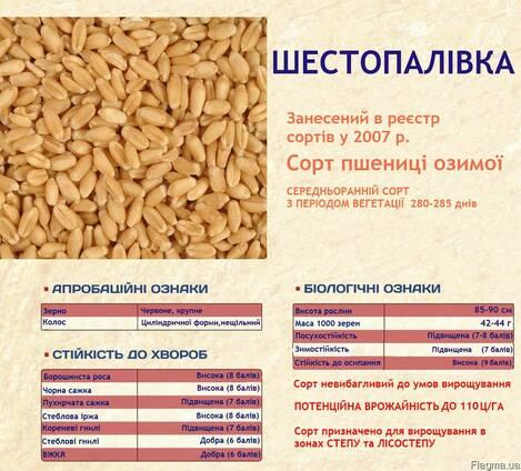 Посевмат пшеницы, сорт Шестопаловка, 1 репродукция