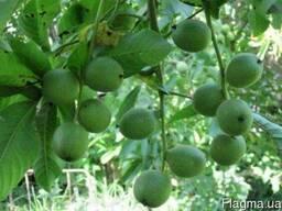 Посевной материал грецкого ореха