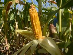 Посевной материал кукуруза от производителя , Мартиника ФАО 330
