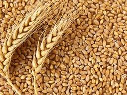 Посевной материал пшеницы « Подолянка», элита/ 1 репродукция