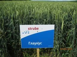 Посівна озима пшениця Глаукус (Штрубе, Німеччина)