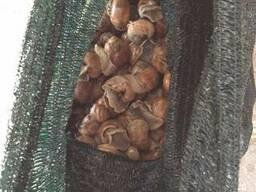Постачання равликів Helix Pomatia