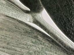 Постер листья пальма рисунок Замия Palm Zamia Furfuracea Mexican 124 см х 210 см