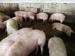 Постоянно продаю свиньи живим весом