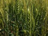 Предлагаем семена озимой пшеницы - фото 2