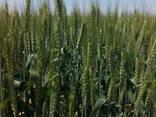 Предлагаем семена озимой пшеницы - фото 3