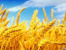 Пшеница на экспорт, всех классов, FOB, CIF
