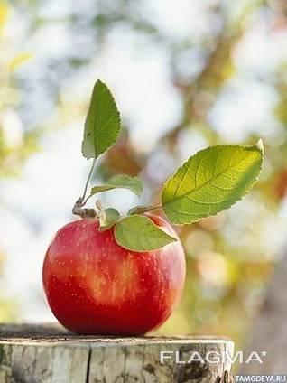 Предприятие купит яблоки для промышленной переработки в больших количествах