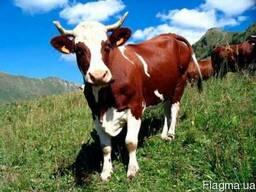 Премікс для дійних корів ШенМікс Ков Мілк