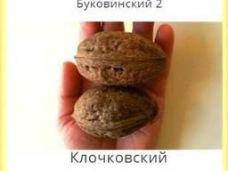 Привитые саженцы грецкого ореха Буковинских сортов