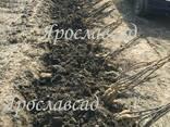 Привитые саженцы грецкого ореха с документами - фото 1
