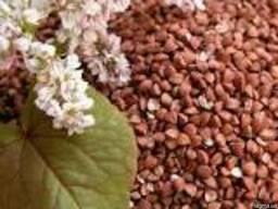Продаем семена гречки Дикуль,Девятка,Антария 1рпр