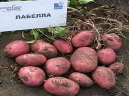 Продаем семенной картофель Лабелла I репродукции