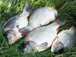 fc890cdded1024 Продаємо живу рибу, короп, карась, щука