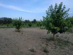 Продается черешневый сад