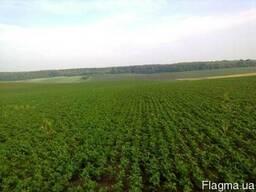 Продається насіння сої Максус 1Ф