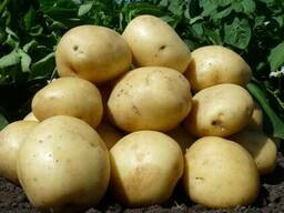 Продается семенной картофель оптом от производителя