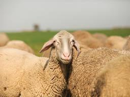 Продається стадо овець породи Мериноландшаф