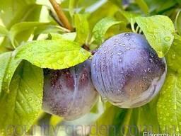 Продам 2-х летние саженцы Алычи и много других растений