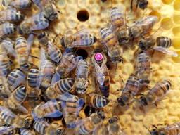 Продам 300 пчелопакетов с собственной пасеки Бакфаст