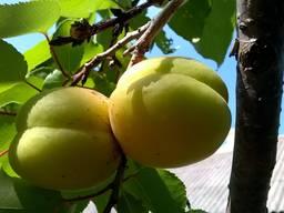Продам абрикос оптом 26 грн кг, большой тоннаж.
