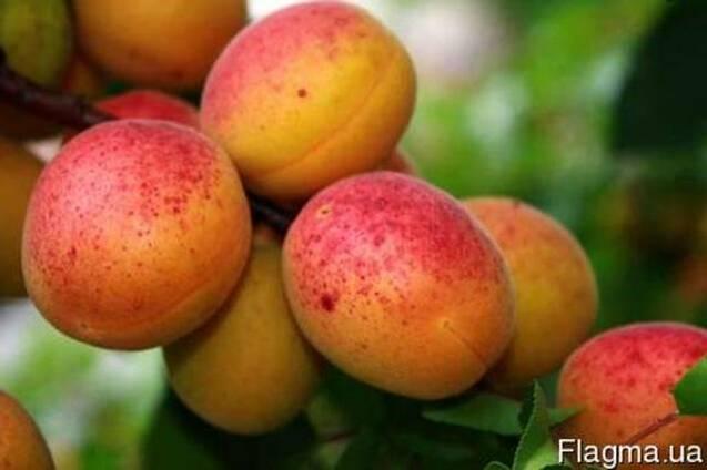 Продам абрикос оптом