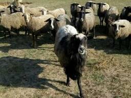 Продам барана романовской породы и овец