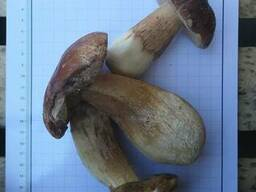 Продам білий гриб