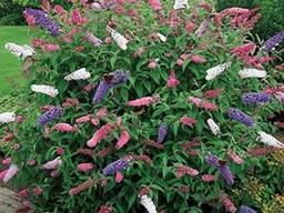Буддлея Давида - 6 цветов.