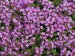 Продам Чабрец почвопокровный и много других растений