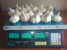 Продам часник багато сортів на посадку насіння від 1 кг