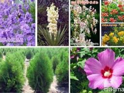 Продам декоративные кустарники