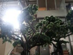 Продам дерево Бонсай б/у